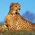 История гепарда Лайри