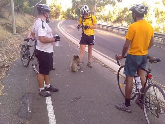 Велосипедисты спасают коалу от жажды.