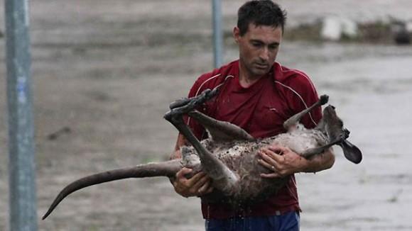 Мужчина рисковал жизнью, чтобы спасти кенгуру во время наводнения в Квинсленде.