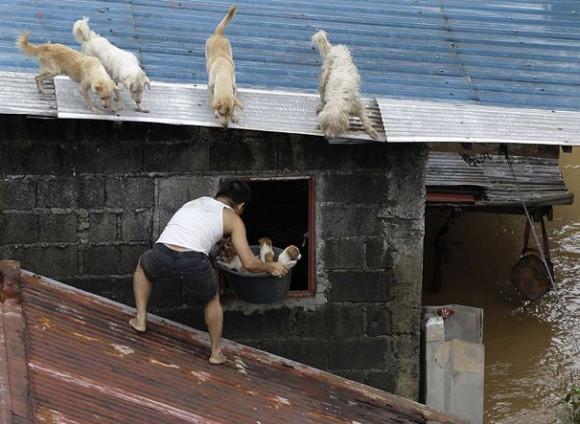 Мужчина спасает щенков из заброшенного дома во время наводнения в Маниле.