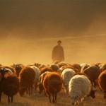 Колонка Ника Вуйчича: Пастух и овцы