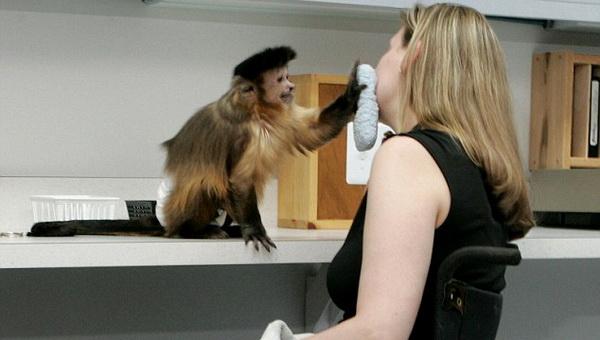 В США хотят узаконить обезьян-помощников