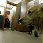 Метрополитен открывает курсы для собак-поводырей