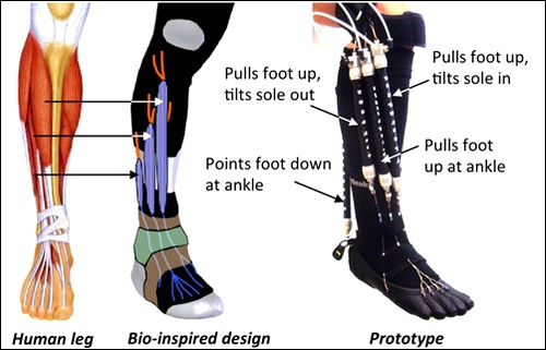 Человеческая нога и её аналог на основе гибкого экзоскелета (рисунок авторов работы).