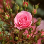 Розы из Эквадора