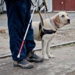 Как готовят собак-поводырей