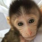 Созданы генетически модифицированные обезьяны с моделью аутизма