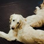 Золотые псы: репортаж из центра канистерапии