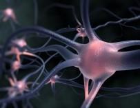 Агрегированный в нервных клетках белок может вызывать БАС