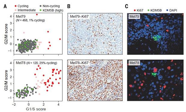 Рисунок: Itay Tirosh et al. / Broad Institute of MIT and Harvard Скорость клеточного цикла отдельных раковых клеток в различных опухолях (А), их размножение (В) и активность связанных с клеточным циклом генов.