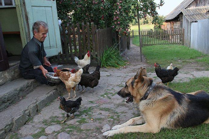 А Вольф обязательно угощает своей едой кур.