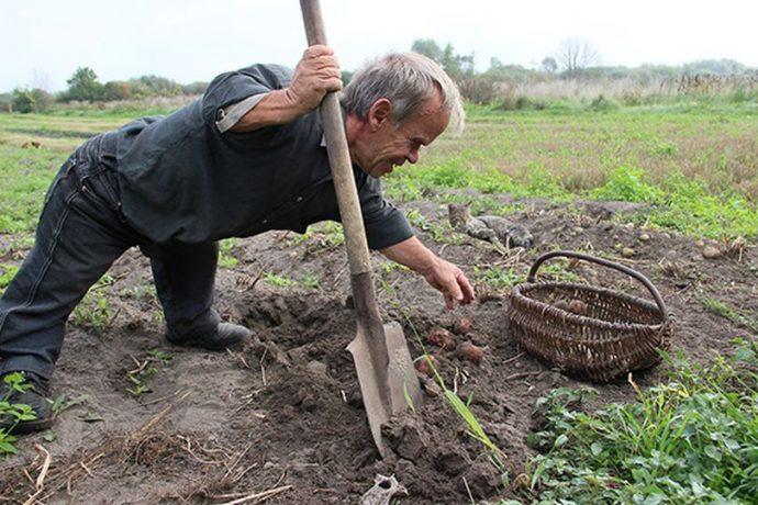 Через пару дней после моего отъезда картошка будет выкопана и убрана в погреб.